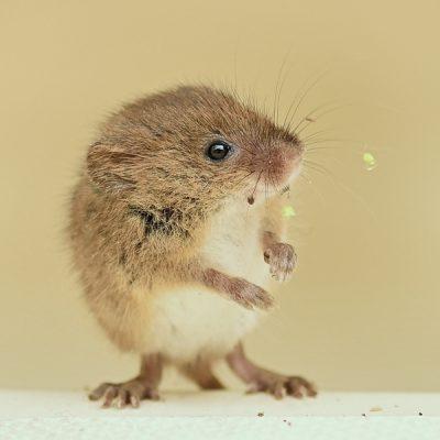 Dwergmuis © Beverley Brouwer