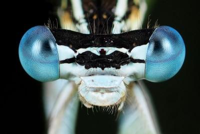 Blauwe Breedscheenjuffer ♂ – © Marc Brouwer