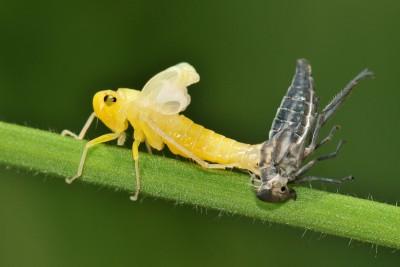 Groene Cicade – © Beverley Brouwer