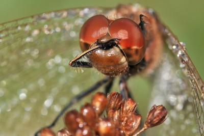 Steenrode Heidelibel – © Beverley Brouwer