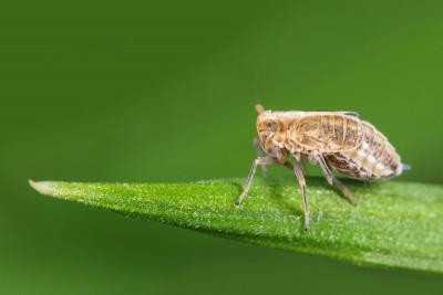 Delphacidae sp – © Marc Brouwer