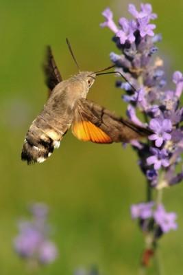 Kolibrievlinder – © Beverley Brouwer