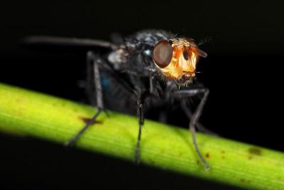 Lijkenvlieg – © Marc Brouwer