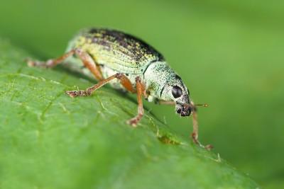 Snuitkever – Phyllobius – © Marc Brouwer