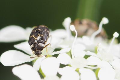 Spekkever – Anthrenus Fuscus – © Marc Brouwer