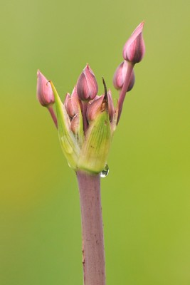 Zwanenbloem – © Beverley Brouwer