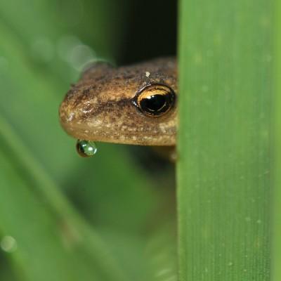 Kleine Watersalamander – © Beverley Brouwer