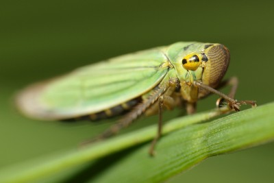 Groene Cicade – © Marc Brouwer