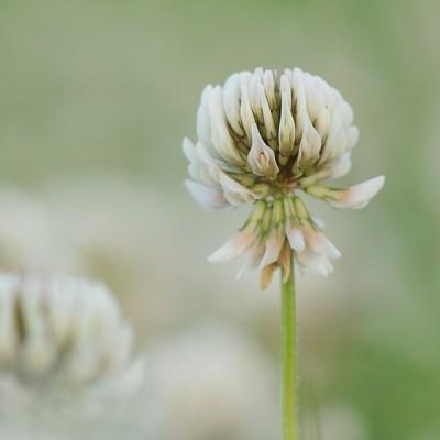 Witte Klaver – © Beverley Brouwer