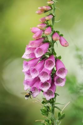 Vingerhoedskruid – Digitalis Purpurea – © Beverley Brouwer