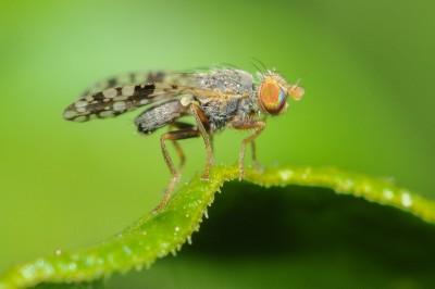 Goudsbloemboorvlieg – Tephritis Praecox – © Beverley Brouwer