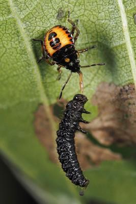 Snuitkeverschildwants – Arma custos – © Marc Brouwer