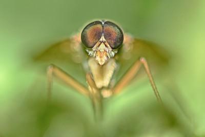Snavelvlieg ♂ – © Beverley Brouwer