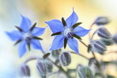 Bernagie (Borago officinalis) – © Beverley Brouwer
